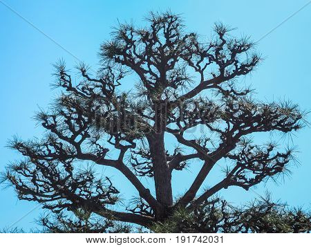 Silhouette for abstract image, Leafless branches of pine tree against blue sky