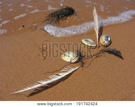 Three shellfish-mollusks two feathers and algae on the sea sand