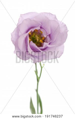 Beauty Violet Flower Isolated On White. Eustoma