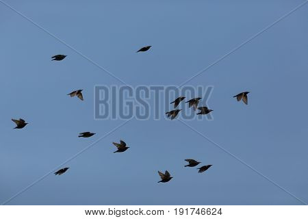Many Starlings (sturnus Vulgaris) Flying In Blue Sky