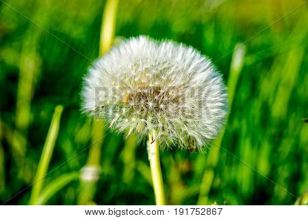 A Puff flower on a little gree meadow in the summer