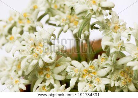 Closeup of edelweiss (leontopodium alpinum) flowers in a circle