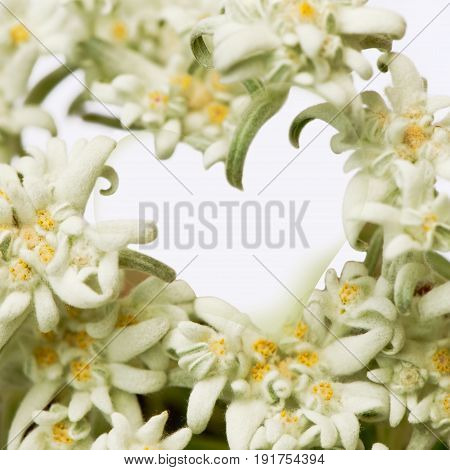 Closeup of edelweiss flowers forming a heart. Square crop