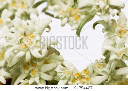 Alpine edelweiss flower forming a heart. Isolated on white