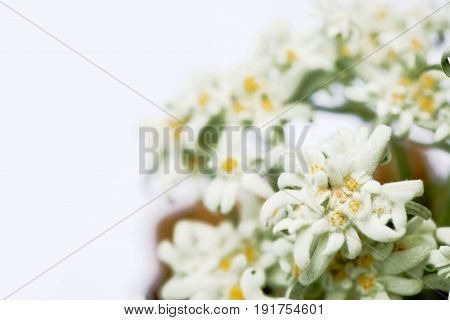 Closeup of edelweiss flowers isolated on white. Shallow depth of field