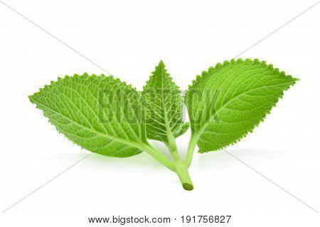 back of green leaves (Country BorageIndian BorageColeus amboinicus Lour( Plectranthus amboinicus (Lour.)) isolate on white background.