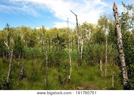 Stumps of dead birches on a forest marsh overgrown with reeds and dense grass in a beautiful sunny day under blue sky with white clouds. Poland in june. Horizontal view.
