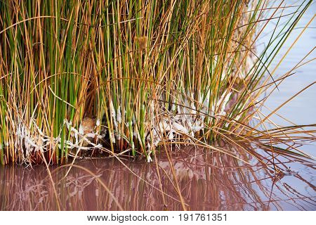 Salted grass with pieces of salt on the stems, grows out of the water of a pink lake color. Las salinas. Parque Natural de las Lagunas de La Mata y Torrevieja.