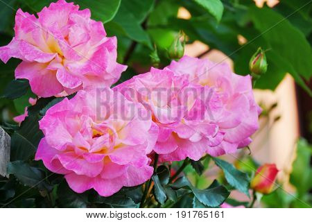 Pink rose flowers on tall rose bush closeup
