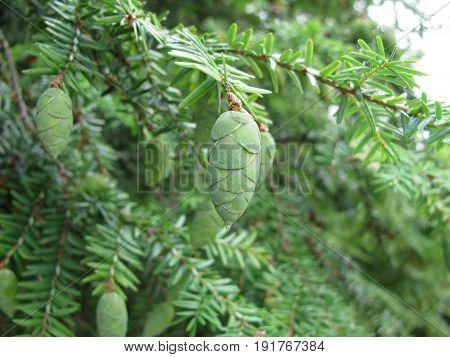 Hemlock tree with green cones in garden