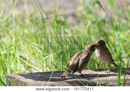 Sparrow feeding nestling on the green background