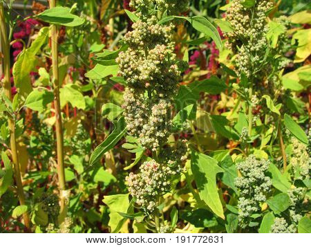 Quinoa plant with seeds, Chenopodium quinoa, in garden