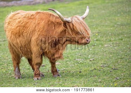 Scottish cow in a clearing in the wild