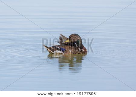 Young Male Mallard (anas Platyrhynchos) Swimming In Water