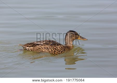 Side View Portrait Of Female Mallard (anas Platyrhynchos) Swimming