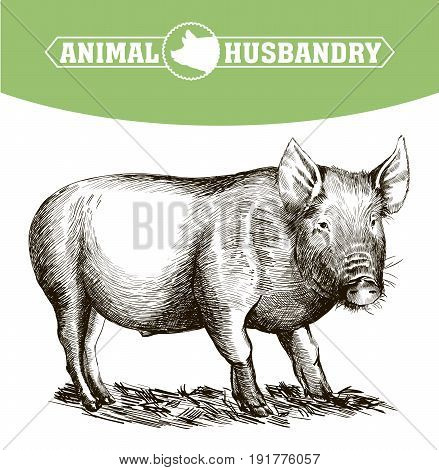 sketch of pig drawn by hand on a white background. livestock. animal grazing