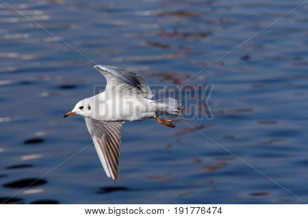 Image of the flying gull above water