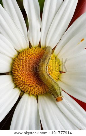 Detail of the caterpillar on the English daisy