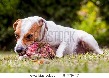 Close Up Jack Russell Terrier Angry Female Dog Protecting Big Bone