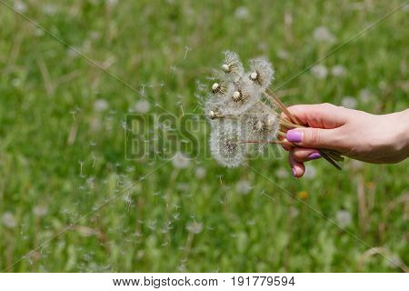 Flying dandelion down in one woman hands