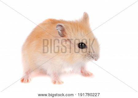 Little funny hamster isolated on white background.