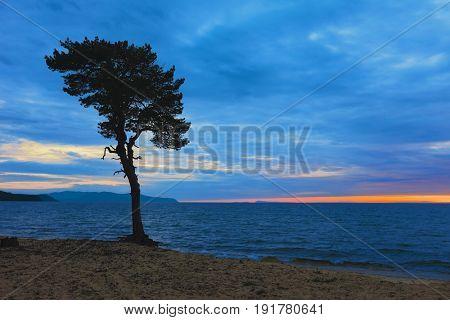 Tree on sandy coast of Lake Baikal. Russia