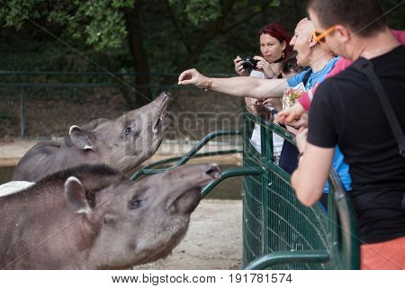 LES MATHES, FRANCE - JULY 4, 2016: Visitors feeding the South American tapirs (Tapirus terrestris), also known as the Brazilian tapirs at La Palmyre Zoo in Les Mathes, Charente-Maritime, France.