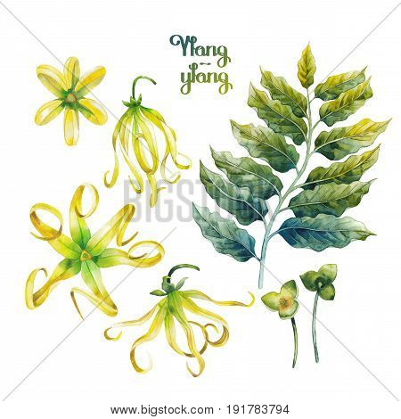 Watercolor ylang ylang collection. Hand painted leaves and flowers isolated on white background. Herbal medicine and aroma therapy