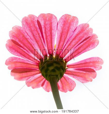 Zinnia from below isolated on white background