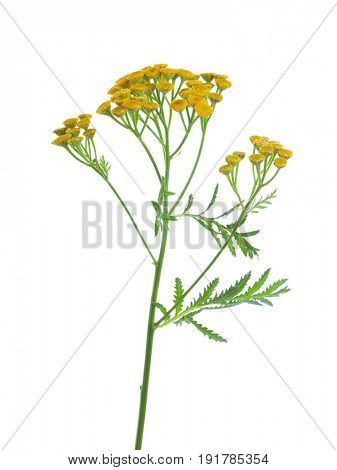 Yellow Tansy (Tanacetum vulgare) flowers isolated on white background. studio shot