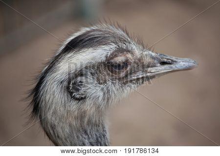 Greater rhea (Rhea americana), also known as the common rhea.