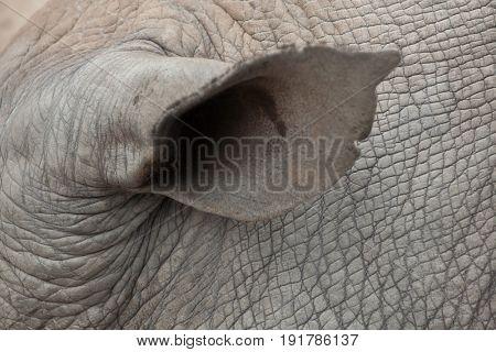 Ear of the Southern white rhinoceros (Ceratotherium simum simum).