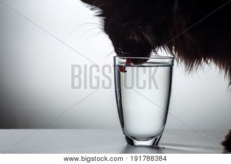 Black cat drinks water from glass on gray background, photo in studio
