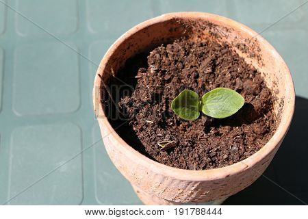 Young zucchini plant in a flower pot