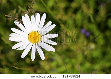 White marguerite flower surrounded by green nature