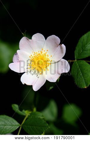 Beautiful white rosehip flower surrounded by nature