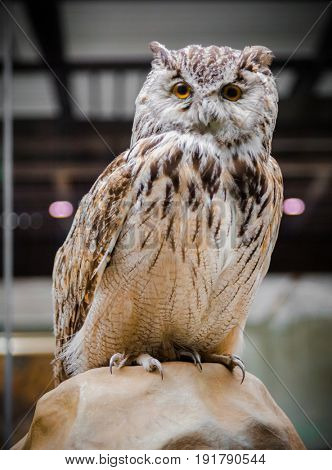 Close up of a Great Horned Owl