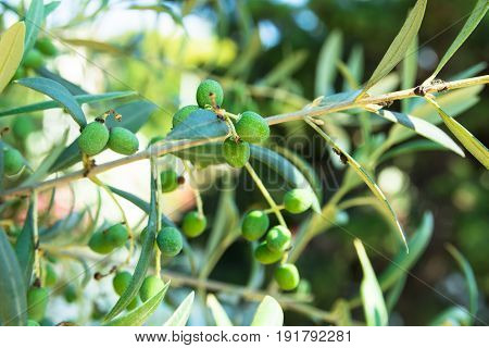 Close up of young olive tree branch with ripening fruits sunlight green foliage soft colors Spain Italy Greece oil production