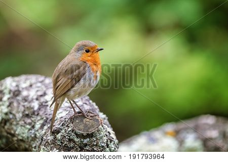 Single adult robin perched on a lichen covered log. Space for text.