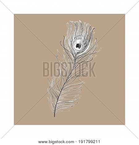 Hand drawn peacock tail bird feather, sketch style vector illustration on brown background. Realistic hand drawing of beatiful peacock eye spotted tail quill feather