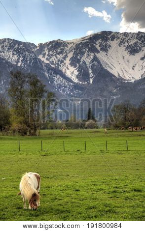 A horse grazing in a pasture with the snow covered Alps in the background.