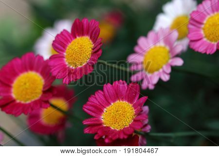Red daisy flower is a one-year-old plant that within must overwinter