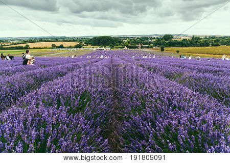 HITCHIN, UK - AUGUST 1, 2016: Landscape view of Hitchin lavender farm and visitors hand picking straight from the field.