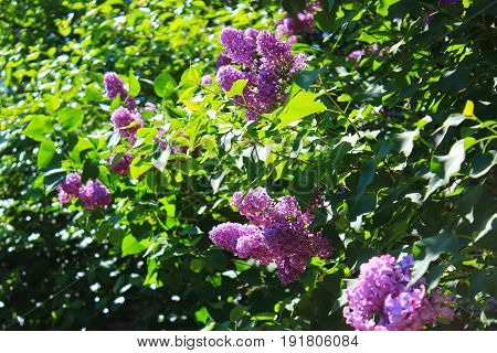 The lilac Bush in summer. Flowers shrubs. Lilac Bush pictures. A bouquet of lilacs. Flowers bright cluster
