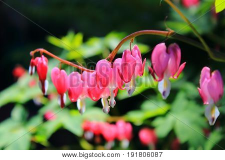 Pink flowers hearts dicentra in summer day. The bleeding heart is gorgeous on the sun. Flowers macro