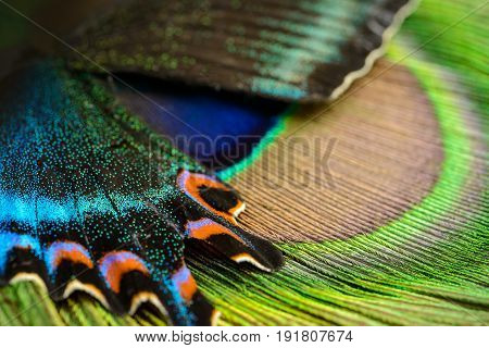 Abstract picture of Butterfly wing and peacock feather