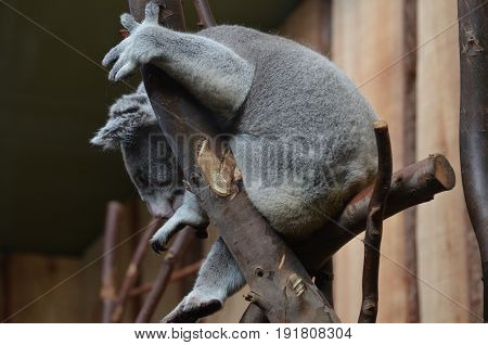 Koala bear with his paws gripping branches in a tree.