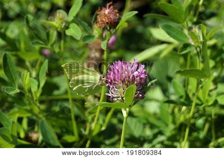 Violet clover flower with butterfly on a clearing with green grass