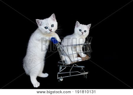 Two young white cats with shopping cart on black background