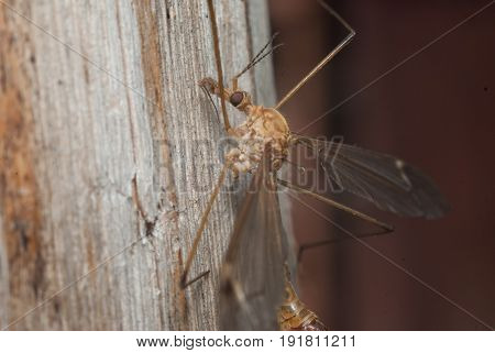 A Large Anopheles Mosquito, R